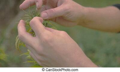 Homegrown Marijuana Plant - Young caucasian woman checking...
