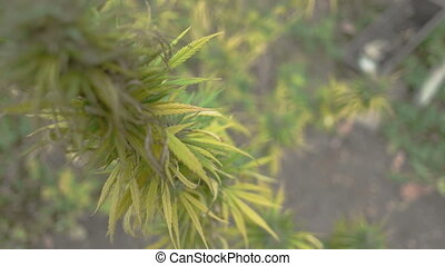 Homegrown Marijuana Plant - Zooming and refocusing on...