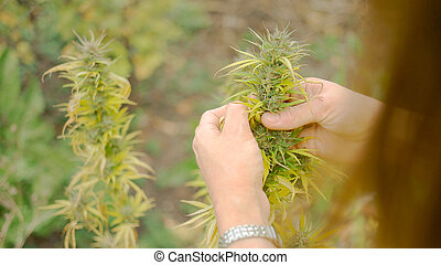Homegrown Marijuana Plant - Young caucasian woman tearing...