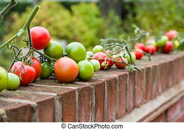 Homegrown produce, ripening tomatoes on vines - Homegrown ...
