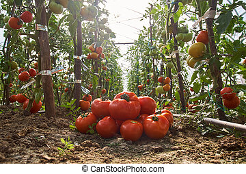 Homegrown tomatoes in the greenhouse
