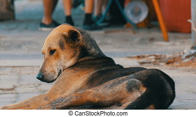 Homeless brown-black dog lies on street in Thailand -...