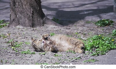 Homeless Cat Lies on the Ground in the Park and is Sunbathing in the Sun. Slow Motion