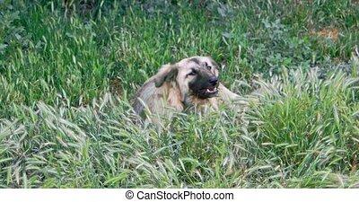 Homeless dog eating in spring grass - Homeless dog eating...