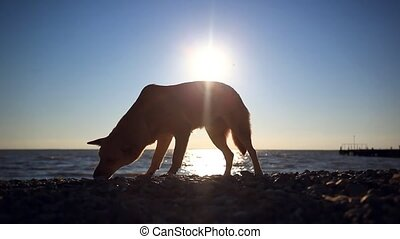 Homeless dog eats a fish on a sunset beach at blurred bokeh background