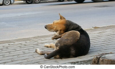 Homeless dog lies on a city street people pass by and do not...