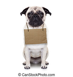 homeless dog - lost, homeless pug dog with cardboard hanging...