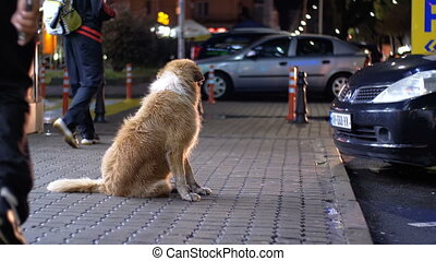 Homeless Dog Sits on a City Street at Night on Background of Passing Cars and People