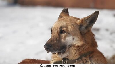 homeless dog sits on the snow in the winter squinting eyes from a strong wind. problem dog of homeless pets