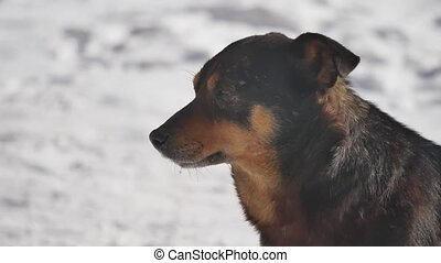 homeless dog sits on the snow in the winter squinting eyes from a strong wind. problem of homeless dog pets