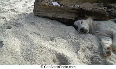 Homeless Dog Sleeping on Sand of the Beach bali island asia...