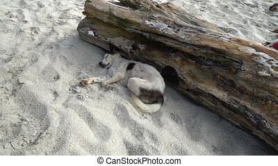 Homeless Dog Sleeping on Sand of the Beach