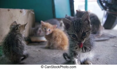Homeless Gray and White Fluffy Kitten is Licked on the...
