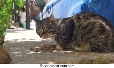 Homeless Gray Cat Eats Cat Food on the Street
