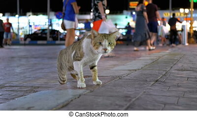 Homeless Gray Egyptian Cat Wanders through the Nightly Busy Street of Egypt.