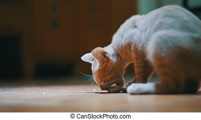 Homeless kitten eagerly eats a piece of bread on the floor...
