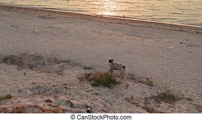 Homeless mixed breed stray dog walking on the beach close to...