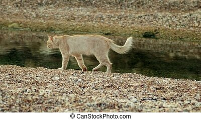 Homeless proud ginger cat walking on beach. - Homeless proud...