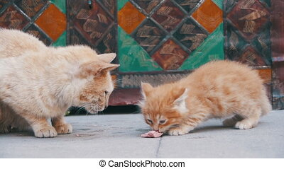 Homeless Red Cat with a Kitten on the Street Eating Food. Slow Motion