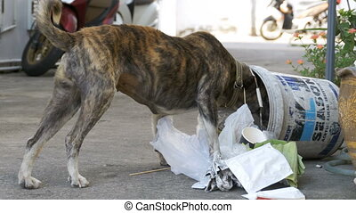 Homeless, Thin and Hungry Dog Dig in a Garbage can on the Street. Asia, Thailand, Pattaya