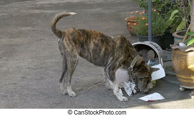 Homeless, Thin and Hungry Dog Dig in a Garbage can on the Street. Asia, Thailand. Slow Motion