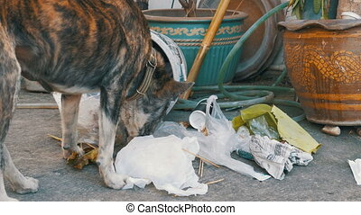 Homeless, Thin and Hungry Dog Rummages in a Garbage can on the Street. Asia, Thailand