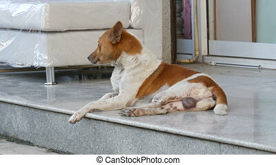 Homeless two-colored dog lies under a furniture store - A...