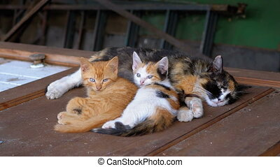 Homeless Wild Kittens and Nursing Mom Cat are Lying on the...
