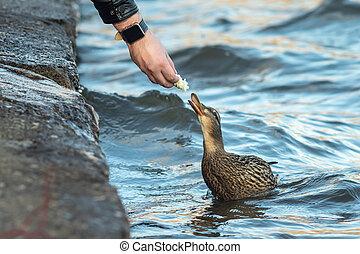 homem, alimenta, seu, mão, pato