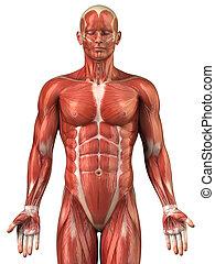 homem, sistema muscular, anatomia, visão anterior