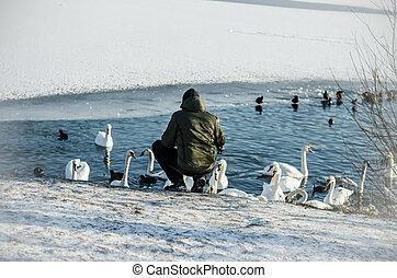 homem, superfície, cisnes, água, pato, grupo