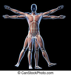 homem vitruvian, -, músculo, sistema