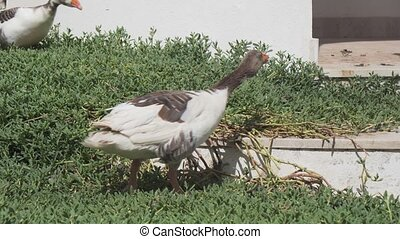 Homemade geese are walking on grass - Homemade geese are...