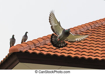 homing pigeon bird flying fand perching on home roof tile
