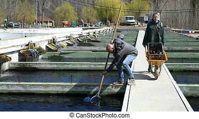 homme, ferme, fish, esturgeon, propriétaire, attraper, réservoir, femme, ouvrier
