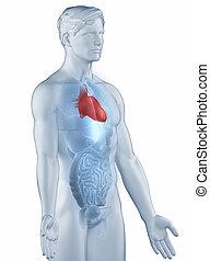 homme, latéral, coeur, anatomie, isolé, position, vue