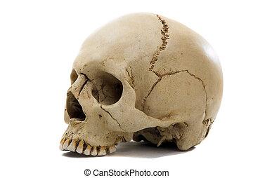 cranium - Homo sapience cranium isolated on white background