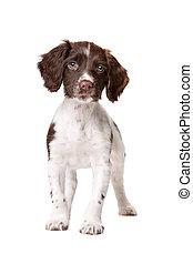hond, chien, partrige, patrijs, Hollandais, Chiot, drentse...