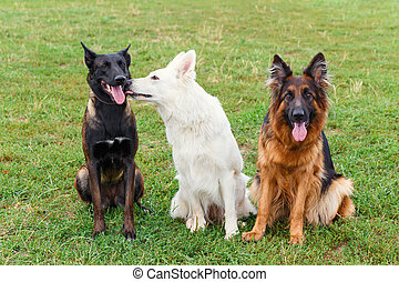 honden, zittende , op, de, wei