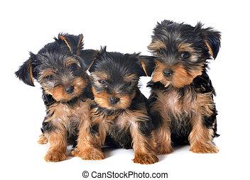 hondjes, terrier, yorkshire