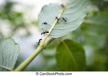 Honey Ants Aphids - Honey ants protecting and tending the...
