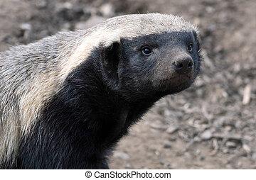 Honey Badger (Mellivora capensis)