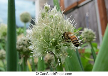 Honey Bee and Green Onion Flower