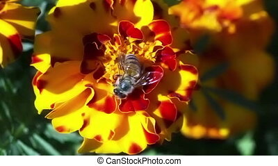 Honey bee closeup.