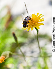 honey bee collect nectar from yellow flower