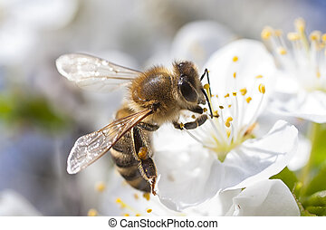 Honey Bee Collecting Blossom - Honey Bee harvesting pollen...