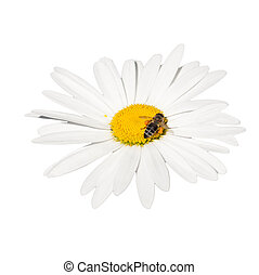 honey bee collecting nectar on a flower - isolated on white ...