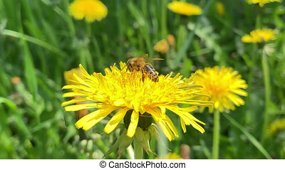 Honey Bee collecting pollen of flower - Honey Bee Collecting...