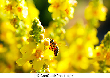 honey bee collecting pollen on from a yellow flower on meadow . morning shot