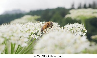 Honey bee collecting pollen on wild flower in summer field close up